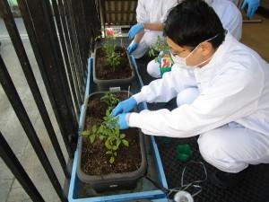 ミニトマト植え替え2